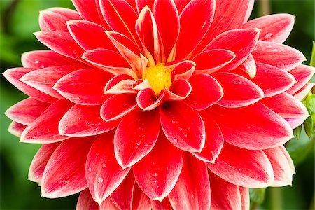 petal - Close-up of Garden Festival Waterlily Dahlia, Cologne, North Rhine-Westphalia, Germany Stock Photo - Premium Royalty-Free, Code: 600-07110516