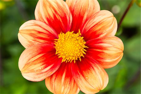 petal - Close-up of Schloss Reinbek Dahlia, Cologne, North Rhine-Westphalia, Germany Stock Photo - Premium Royalty-Free, Code: 600-07110520