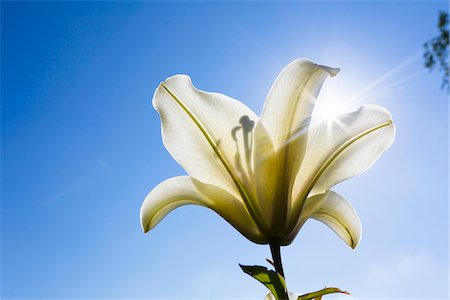 Close-up of Yellow Lily Backlit with Sun against Blue Sky, North Rhine-Westphalia, Germany Stock Photo - Premium Royalty-Free, Code: 600-07110532