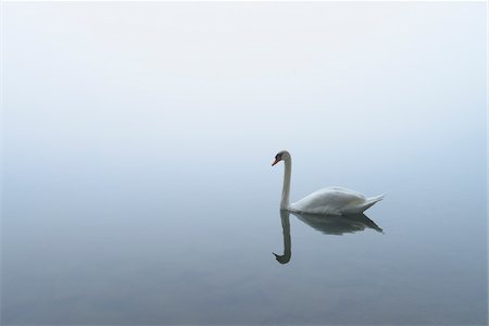 fog (weather) - Mute Swan (Cygnus olor) on Lake in Early Morning Fog, Hesse, Germany Stock Photo - Premium Royalty-Free, Code: 600-07110707