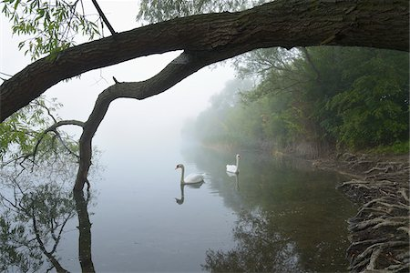 Mute Swans (Cygnus olor) on Lake in Early Morning Fog, Hesse, Germany Stock Photo - Premium Royalty-Free, Code: 600-07110709