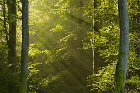 Sunbeams in European Beech (Fagus sylvatica) Forest, Spessart, Bavaria, Germany Stock Photo - Premium Royalty-Free, Code: 600-07110859