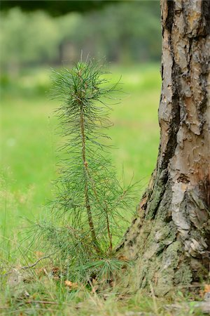 Close-up of a young Scots pine (Pinus sylvestris) beside an old one Stock Photo - Premium Royalty-Free, Code: 600-07148172
