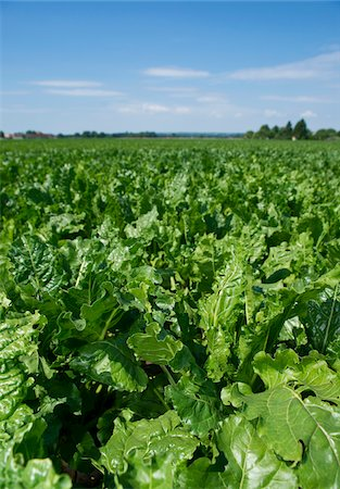 Overview of beet plants in field, Germany Stock Photo - Premium Royalty-Free, Code: 600-07148317