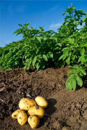 plant (botanical) - Potatoes being harvested in field of potato plants, Germany Stock Photo - Premium Royalty-Free, Code: 600-07148310