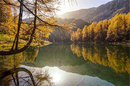Larch Trees in Autumn Foliage at Lai da Palpuogna, Canton of Graubunden, Switzerland Stock Photo - Premium Royalty-Free, Code: 600-07143720