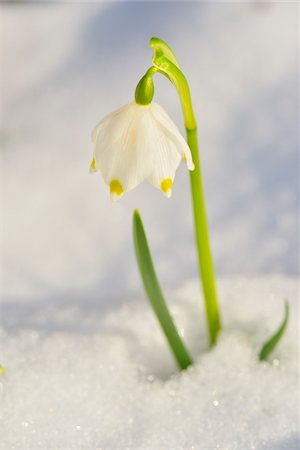 spring flowers - Close-up of Blooming Snowdrops with Snow in Spring, Spessart, Bavaria, Germany Stock Photo - Premium Royalty-Free, Code: 600-07156469