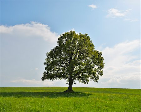 Oak Tree in field in Spring, Grebenhain, Hesse, Germany Stock Photo - Premium Royalty-Free, Code: 600-07156479