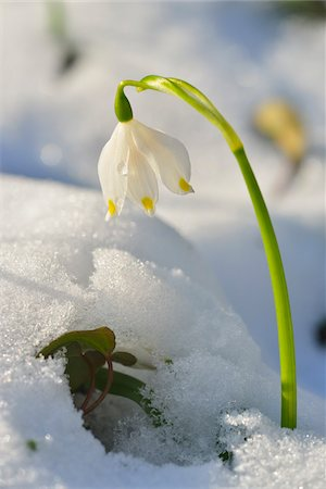 spring flowers - Close-up of Blooming Snowdrops with Snow in Spring, Spessart, Bavaria, Germany Stock Photo - Premium Royalty-Free, Code: 600-07156470