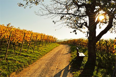 fall - Vineyard Landscape, Ortenau, Baden Wine Route, Baden-Wurttemberg, Germany Stock Photo - Premium Royalty-Free, Code: 600-07199399