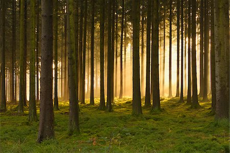 forest - Spruce Forest in Early Morning Mist at Sunrise, Odenwald, Hesse, Germany Stock Photo - Premium Royalty-Free, Code: 600-07199717