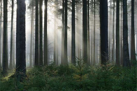forest - Spruce Forest in Early Morning Mist, Odenwald, Hesse, Germany Stock Photo - Premium Royalty-Free, Code: 600-07199718