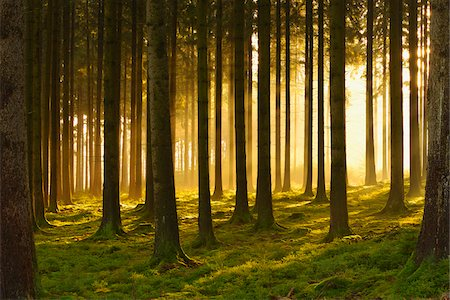 forest - Spruce Forest in Early Morning Mist at Sunrise, Odenwald, Hesse, Germany Stock Photo - Premium Royalty-Free, Code: 600-07199713