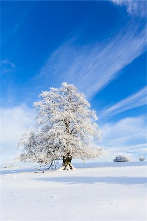 European Beech (Fagus sylvatica) Tree covered with Hoar Frost in Winter, Hesse, Germany Stock Photo - Premium Royalty-Free, Code: 600-07238091