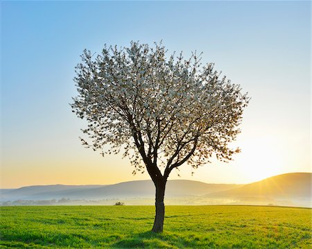 scenic and spring (season) - Blossoming Cherry Tree in Spring at Sunrise, Miltenberg, Spessart, Franconia, Bavaria, Germany Stock Photo - Premium Royalty-Free, Code: 600-07278729