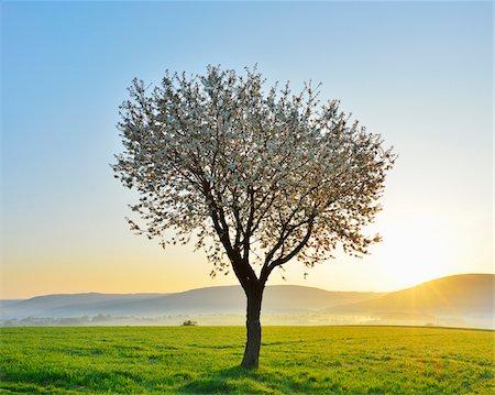 season - Blossoming Cherry Tree in Spring at Sunrise, Miltenberg, Spessart, Franconia, Bavaria, Germany Stock Photo - Premium Royalty-Free, Code: 600-07278729