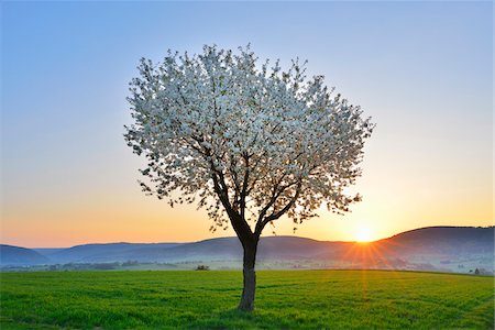season - Blossoming Cherry Tree in Spring at Sunrise, Miltenberg, Spessart, Franconia, Bavaria, Germany Stock Photo - Premium Royalty-Free, Code: 600-07278731