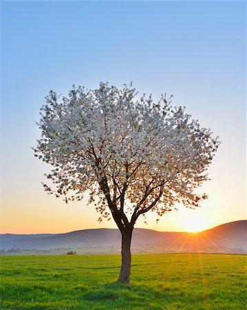 Blossoming Cherry Tree in Spring at Sunrise, Miltenberg, Spessart, Franconia, Bavaria, Germany Stock Photo - Premium Royalty-Free, Code: 600-07278732