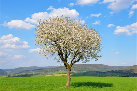 Blossoming Cherry Tree in Spring, Miltenberg, Spessart, Franconia, Bavaria, Germany Stock Photo - Premium Royalty-Free, Code: 600-07278774