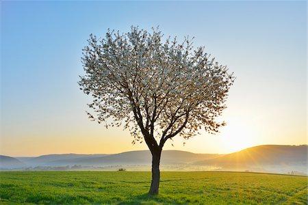 Blossoming Cherry Tree in Spring at Sunrise, Miltenberg, Spessart, Franconia, Bavaria, Germany Stock Photo - Premium Royalty-Free, Code: 600-07278775