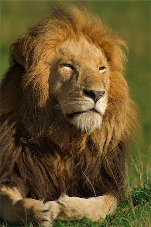 Portrait of Male Lion (Panthera leo), Masai Mara National Reserve, Kenya Stock Photo - Premium Royalty-Free, Code: 600-07278776