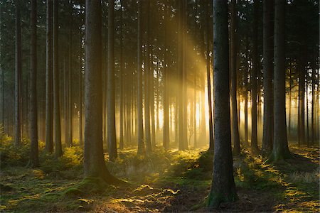 forest - Spruce Forest in Early Morning Mist at Sunrise, Odenwald, Hesse, Germany Stock Photo - Premium Royalty-Free, Code: 600-07279114