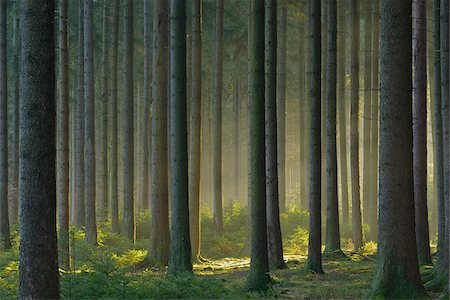 forest - Spruce Forest in Early Morning Mist, Odenwald, Hesse, Germany Stock Photo - Premium Royalty-Free, Code: 600-07279116