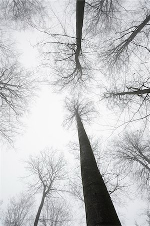 Looking up in European Beech Forest (Fagus sylvatica) in Early Morning Mist, Odenwald, Hesse, Germany Stock Photo - Premium Royalty-Free, Code: 600-07279121