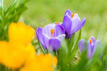spring flowers - Purple and Yellow Spring Crocus (Crocus vernus), Naturpark Bergisches Land, North Rhine-Westphalia, Germany Stock Photo - Premium Royalty-Free, Code: 600-07279338