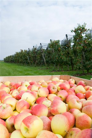 Close-up of big boxes filled with apples in front of field with rows of apple trees in orchard at harvest, Germany Stock Photo - Premium Royalty-Free, Code: 600-07288014