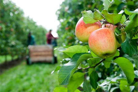 farmhand (female) - Apples on tree in foreground with farmers harvesting in background, Germany Stock Photo - Premium Royalty-Free, Code: 600-07288013
