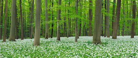 forest - Ramsons (Allium ursinum) in European Beech (Fagus sylvatica) Forest in Spring, Hainich National Park, Thuringia, Germany Stock Photo - Premium Royalty-Free, Code: 600-07288031