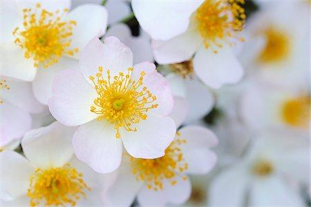 rose - Francis E Lester Roses, Meran, South Tyrol, Trentino-Alto Adige, Italy Stock Photo - Premium Royalty-Free, Code: 600-07288061
