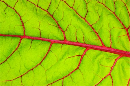 Close-up of Swiss Chard (Beta vulgaris) Leaf, Studio Shot Stock Photo - Premium Royalty-Free, Code: 600-07288072