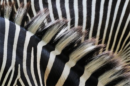design (motif, artistic composition or finished product) - Close-up of Grevy's Zebra (Equus grevyi) Stripes in Zoo, Nuremberg, Bavaria, Germany Stock Photo - Premium Royalty-Free, Code: 600-07288084