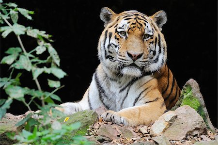 endangered animal - Portrait of Siberian Tiger (Panthera tigris altaica) in Zoo, Nuremberg, Bavaria, Germany Stock Photo - Premium Royalty-Free, Code: 600-07288081