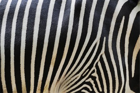 Close-up of Grevy's Zebra (Equus grevyi) Stripes in Zoo, Nuremberg, Bavaria, Germany Stock Photo - Premium Royalty-Free, Code: 600-07288082