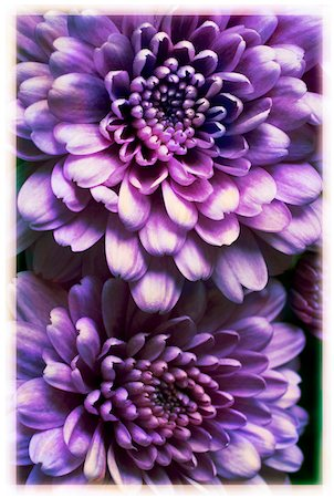 fall - Close up of purple, autumn mums, studio shot Stock Photo - Premium Royalty-Free, Code: 600-07310952
