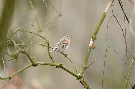fringilla - Close-up of a Common Chaffinch (Fringilla coelebs) sitting on a little branch Stock Photo - Premium Royalty-Free, Code: 600-07311359