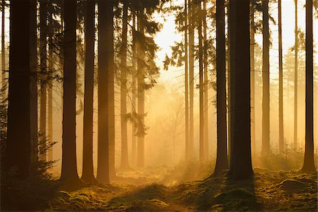 fog (weather) - Spruce Forest in Early Morning Mist at Sunrise, Odenwald, Hesse, Germany Stock Photo - Premium Royalty-Free, Code: 600-07357259
