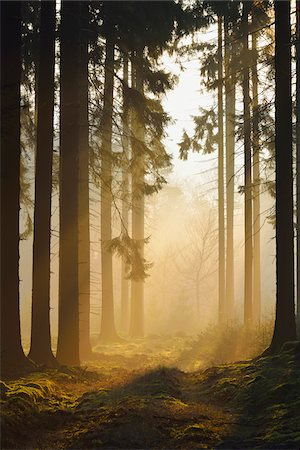 fog (weather) - Spruce Forest in Early Morning Mist at Sunrise, Odenwald, Hesse, Germany Stock Photo - Premium Royalty-Free, Code: 600-07357265
