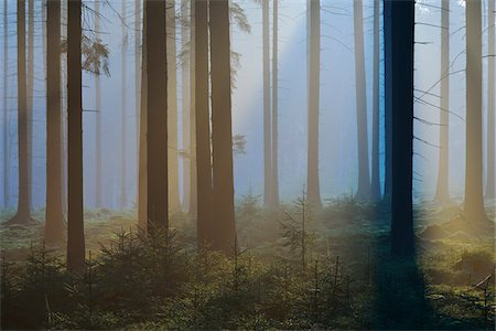 fog (weather) - Spruce Forest in Early Morning Mist, Odenwald, Hesse, Germany Stock Photo - Premium Royalty-Free, Code: 600-07357268