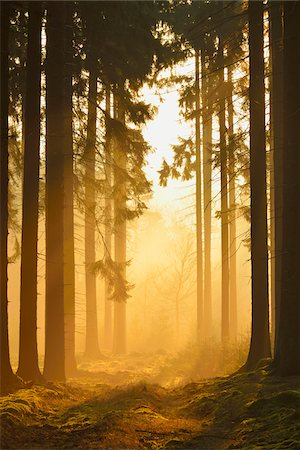 forest - Spruce Forest in Early Morning Mist at Sunrise, Odenwald, Hesse, Germany Stock Photo - Premium Royalty-Free, Code: 600-07357260