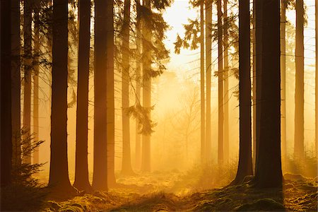 forest - Spruce Forest in Early Morning Mist at Sunrise, Odenwald, Hesse, Germany Stock Photo - Premium Royalty-Free, Code: 600-07357261