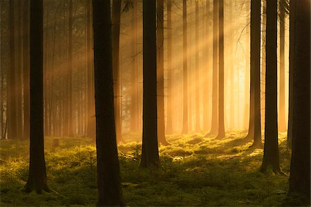 forest - Spruce Forest in Early Morning Mist at Sunrise, Odenwald, Hesse, Germany Stock Photo - Premium Royalty-Free, Code: 600-07357262