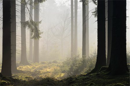 fog (weather) - Spruce Forest in Early Morning Mist, Odenwald, Hesse, Germany Stock Photo - Premium Royalty-Free, Code: 600-07357272