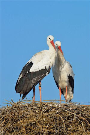 pair - White Storks (Ciconia ciconia) on Nest, Hesse, Germany Stock Photo - Premium Royalty-Free, Code: 600-07363876