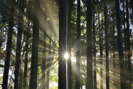 Sun shining through Forest, Schleswig-Holstein, Germany Stock Photo - Premium Royalty-Free, Code: 600-07431236