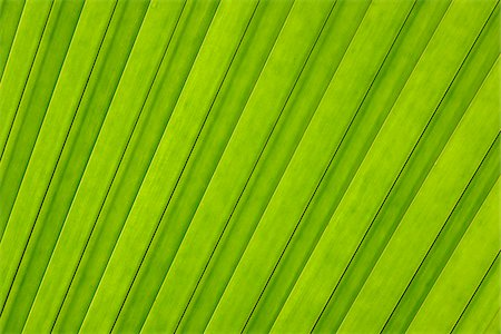 palm - Close-up of Leaf from Coco de Mer Palm Tree, Vallee de Mai Nature Preserve, Praslin, Seychelles Stock Photo - Premium Royalty-Free, Code: 600-07453828