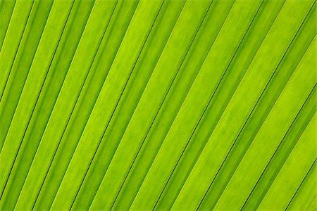 palm - Close-up of Leaf from Coco de Mer Palm Tree, Vallee de Mai Nature Preserve, Praslin, Seychelles Stock Photo - Premium Royalty-Free, Code: 600-07453828